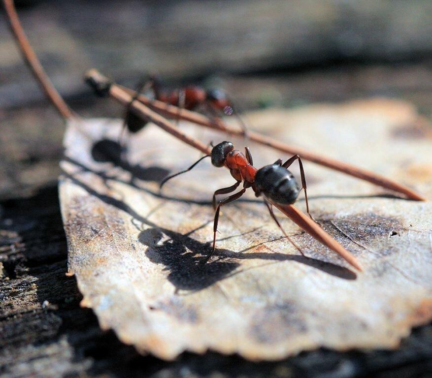 Прикольные, картинки трудяга муравей