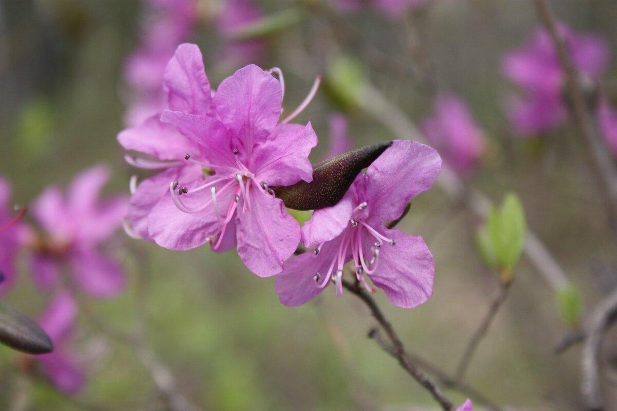 цветущий багульник фото