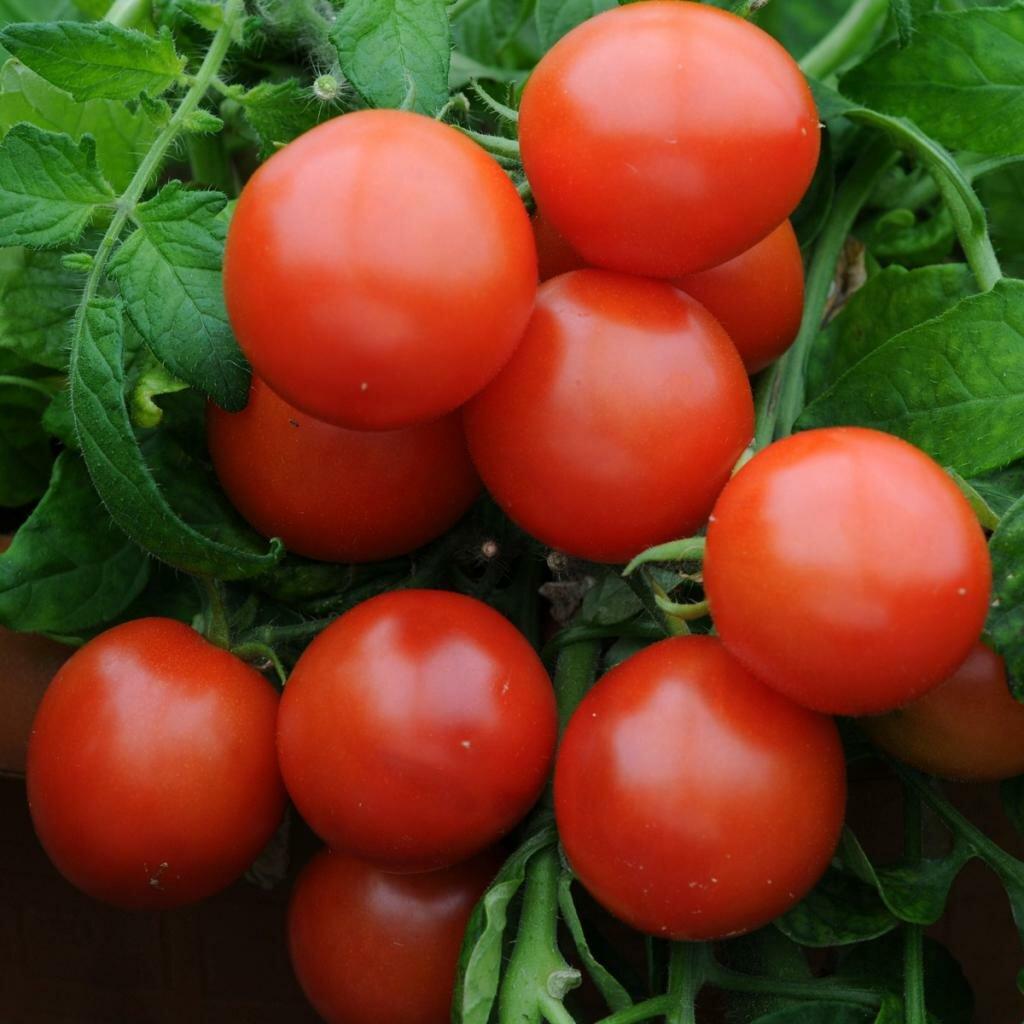 томаты названия с фото некоторое время меня