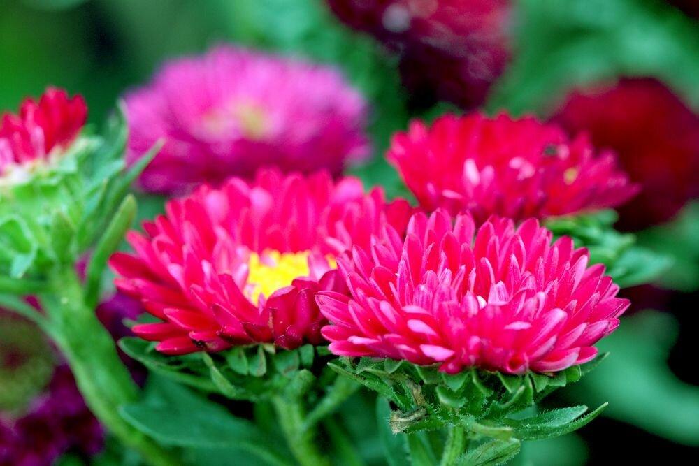 Астра: выращивание из семян: когда сажать на рассаду цветы