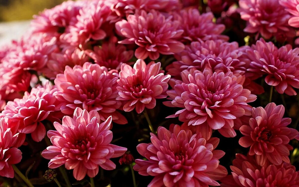 Картинка цветка хризантемы