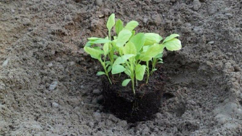 Астра: выращивание из семян: когда сажать на рассаду, уход