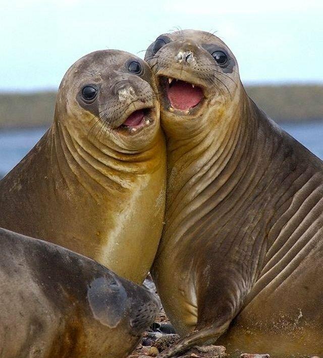 где тюлень фото картинки прикольные днем рождения тебя