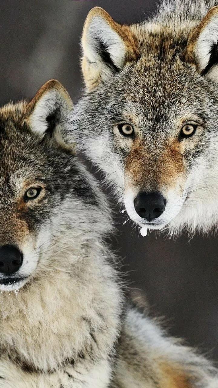 жако на телефон фото пара волков знаем