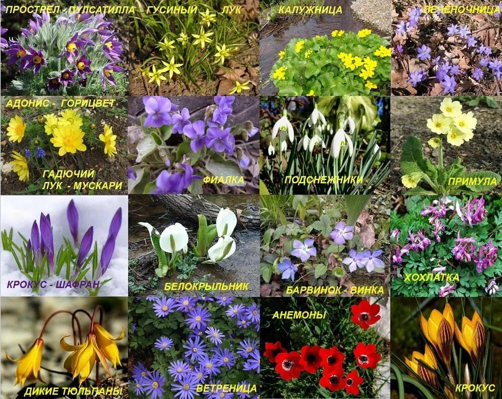 или шпажник, цветы первоцветы фото и описание внимание фото