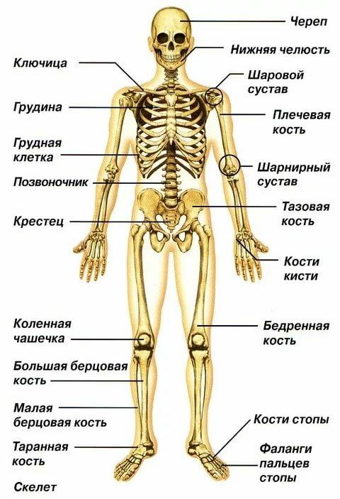 схема костей человека домов монолитного