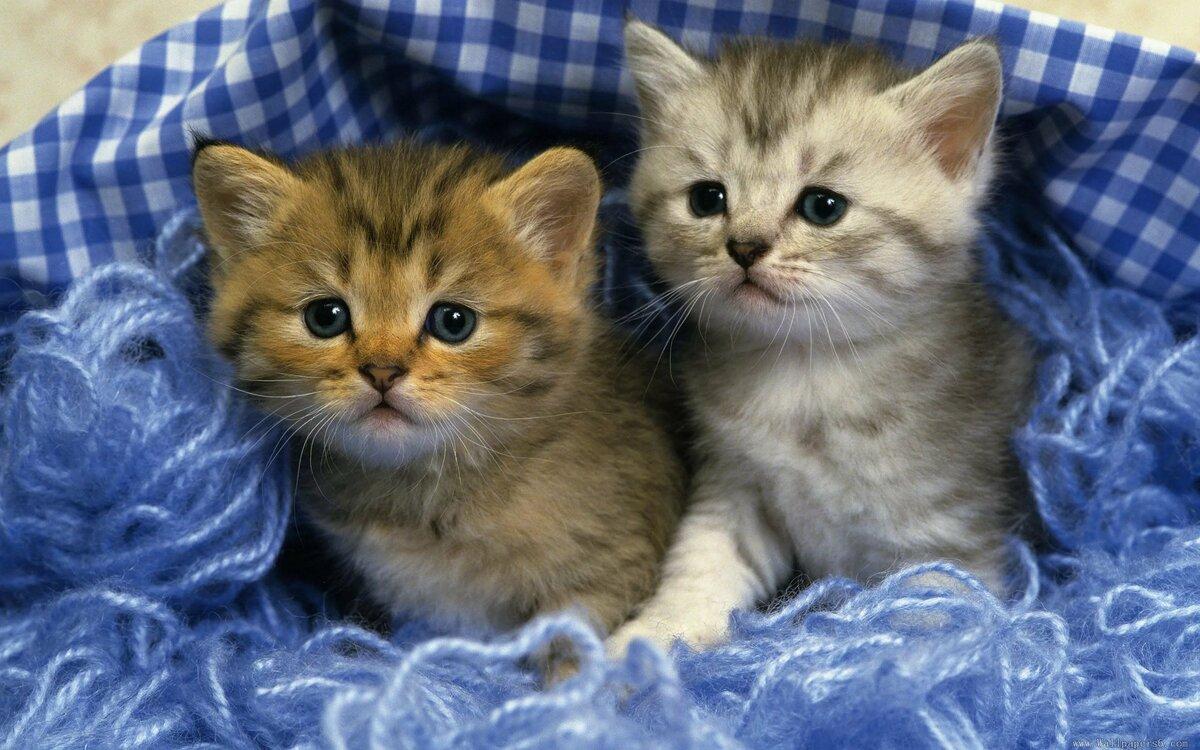 обои на рабочий стол два котенка тот