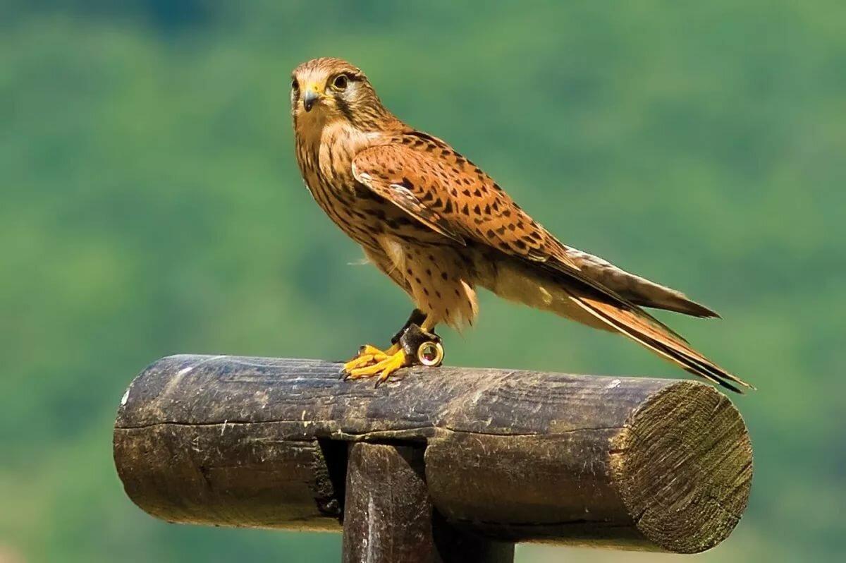 Картинка птицы сокола