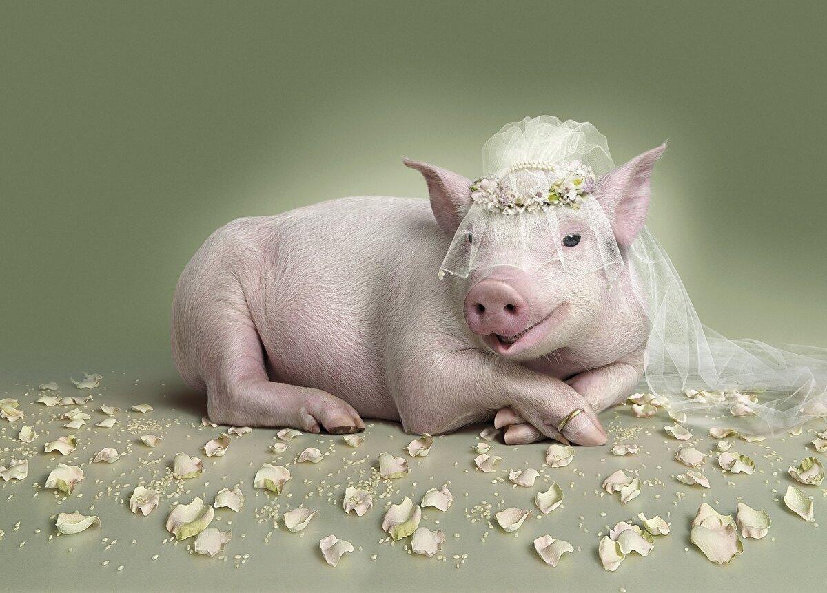 Прикольные рисунки, картинка смешные свинки