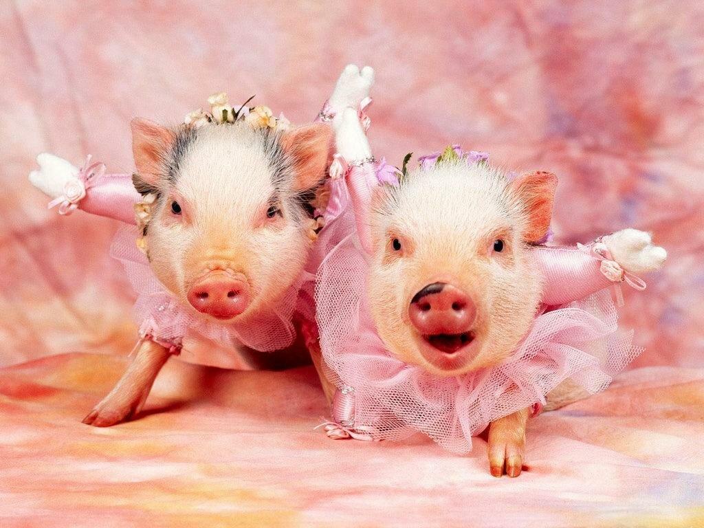 Прикольные картинки со свинкой на новый год, одноклассников