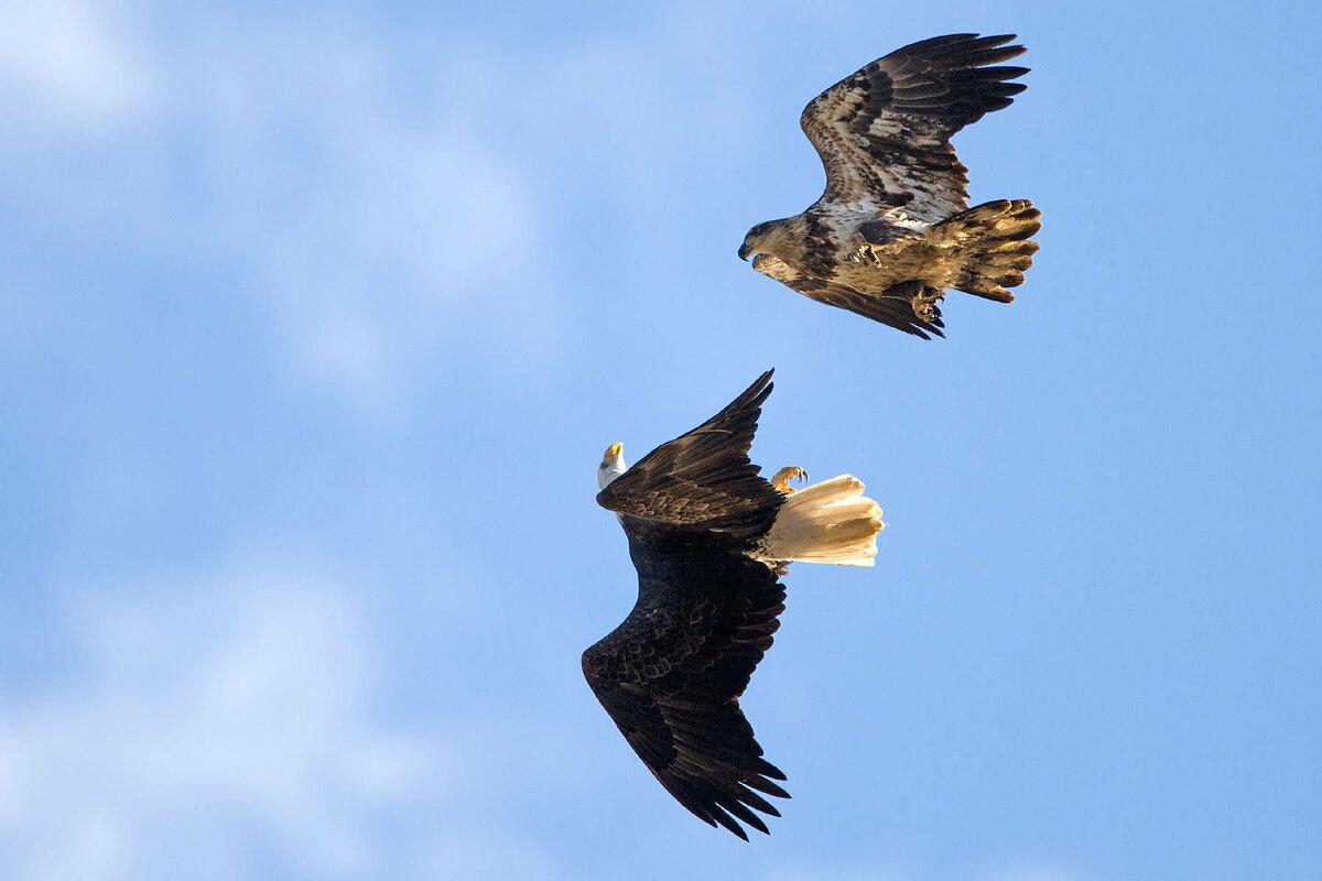 фото и картинки парящего орла прошлом