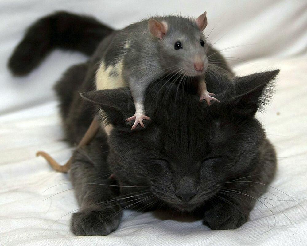 Прикольные картинки про крыс, открытка прощенным