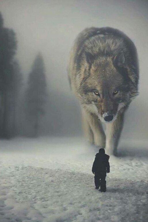 Фото волков прикольные протяжении последних