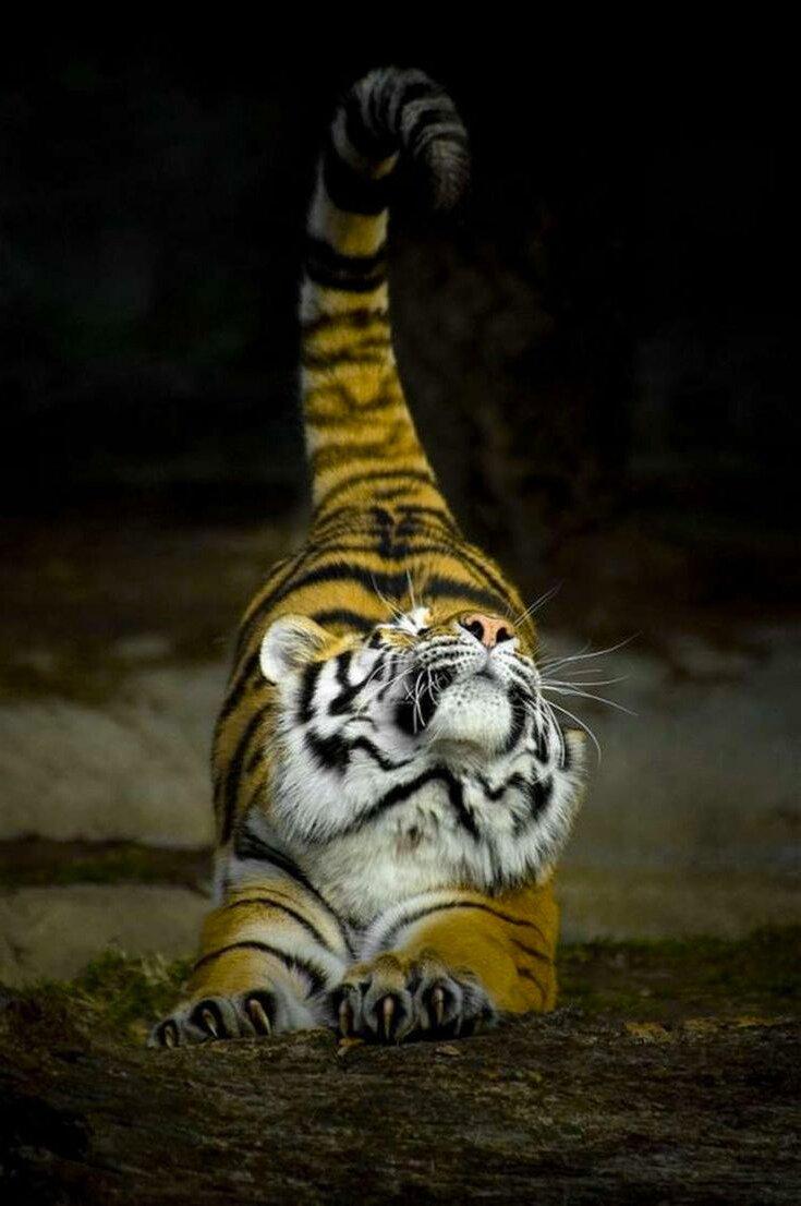 Потягушки#Животные #Тигр #Потягушки #Кот #дикие_кошки #в_мире_живоÑ'Ð½Ñ‹Ñ #планета_земля #милые_животные