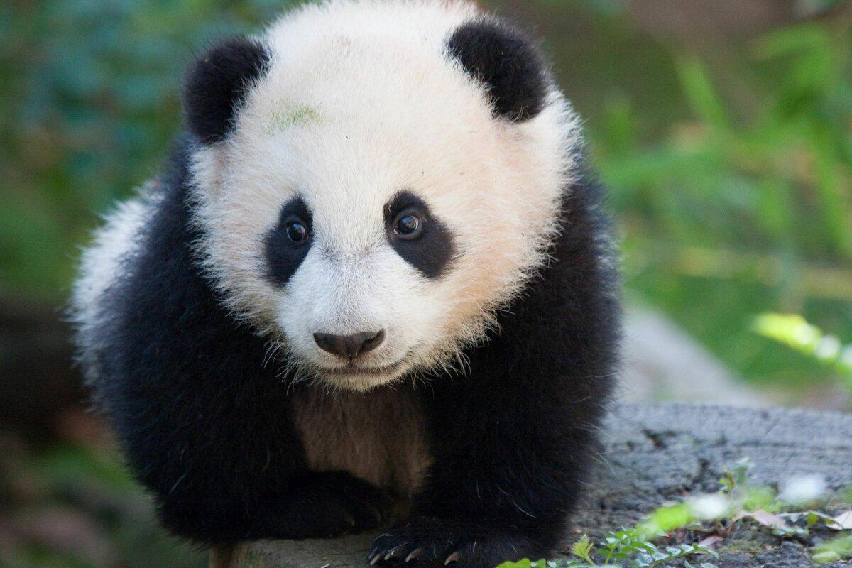 Сделать бумаги, картинки с изображением панды