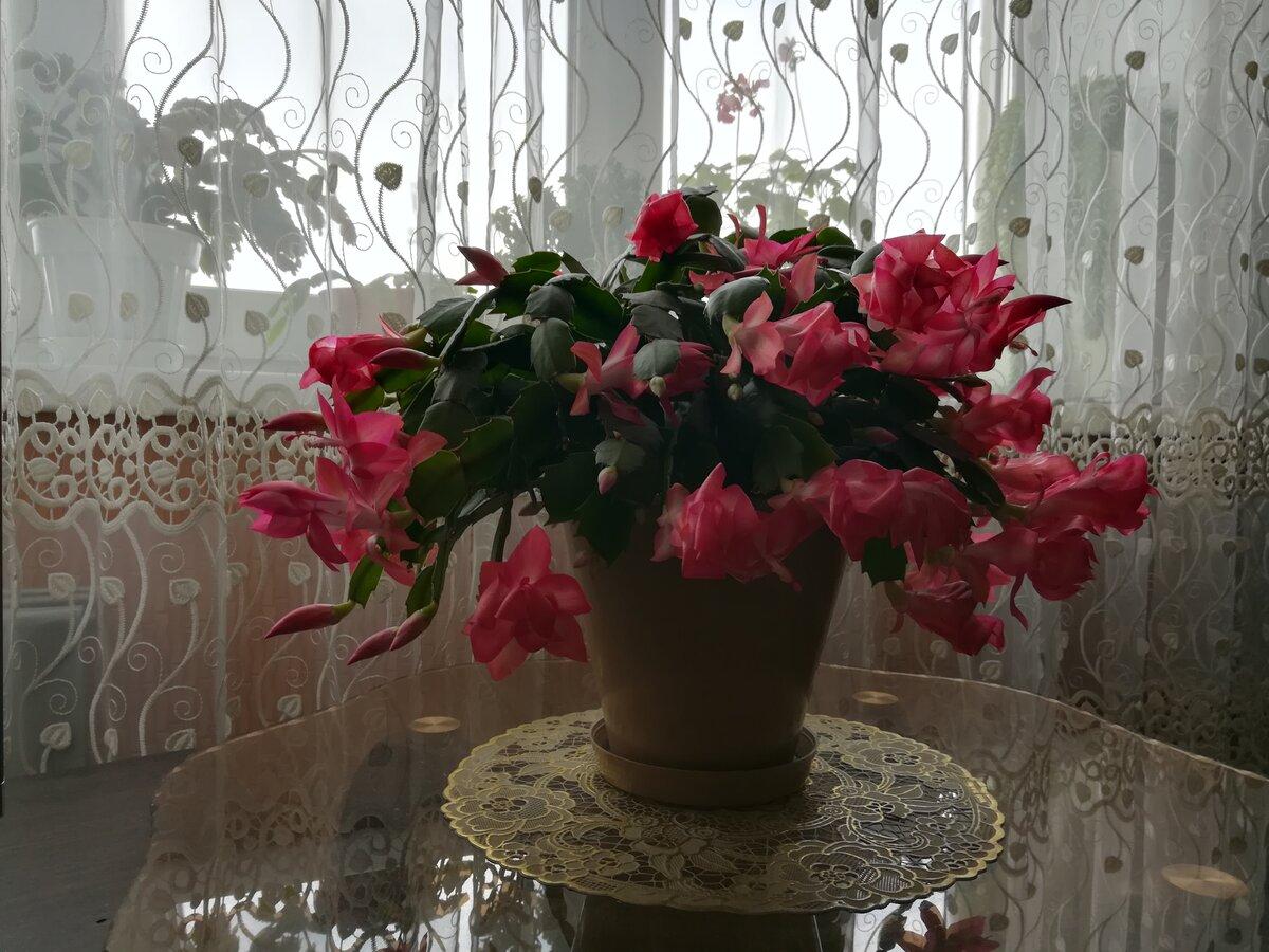фото декабристов на подоконнике это многолетнее растение
