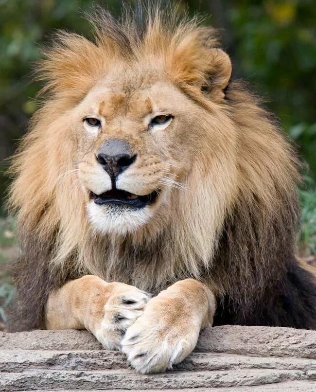 Картинки львов смешные