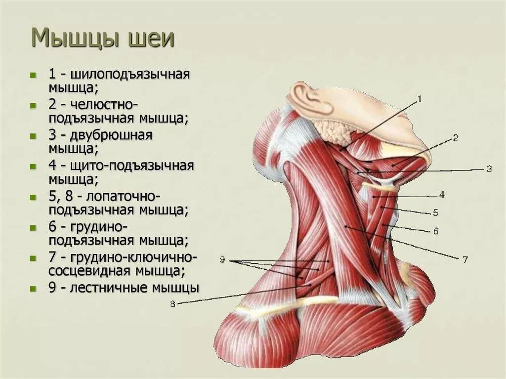 мужем мышцы шеи фото с описанием и схемами для нас