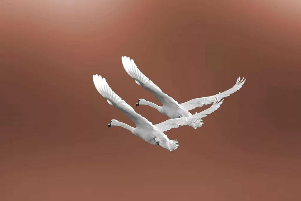 Картинки полет двух лебедей