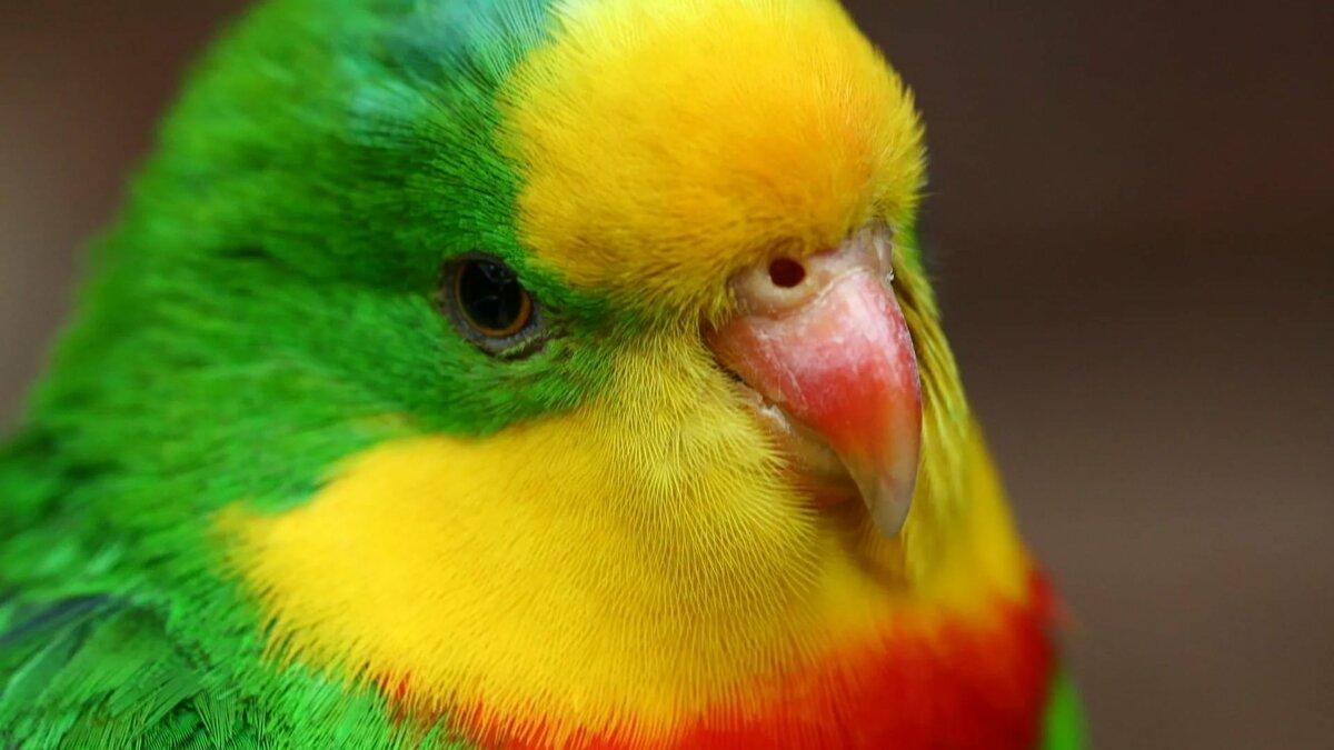 Годовщина свадьбы, картинка с попугайчиками