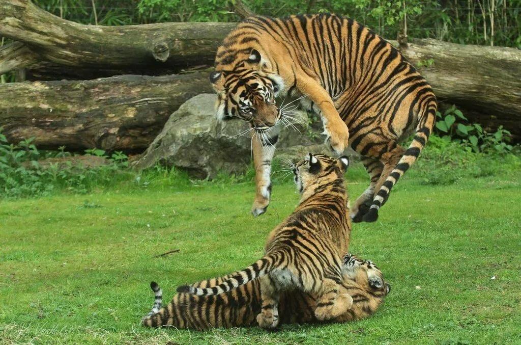 Картинки смешные тигр