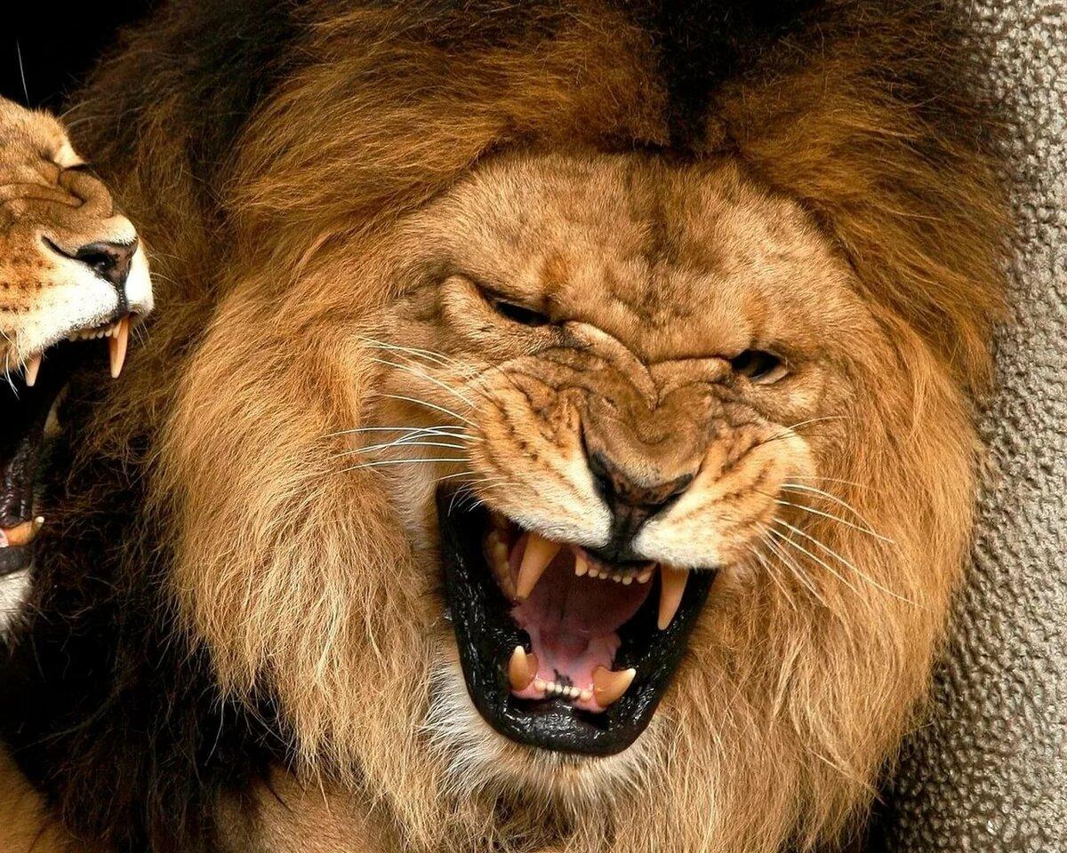 Картинки злости львиц, картинка