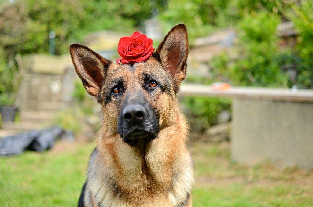 Ручкой, собака овчарка немецкая картинки