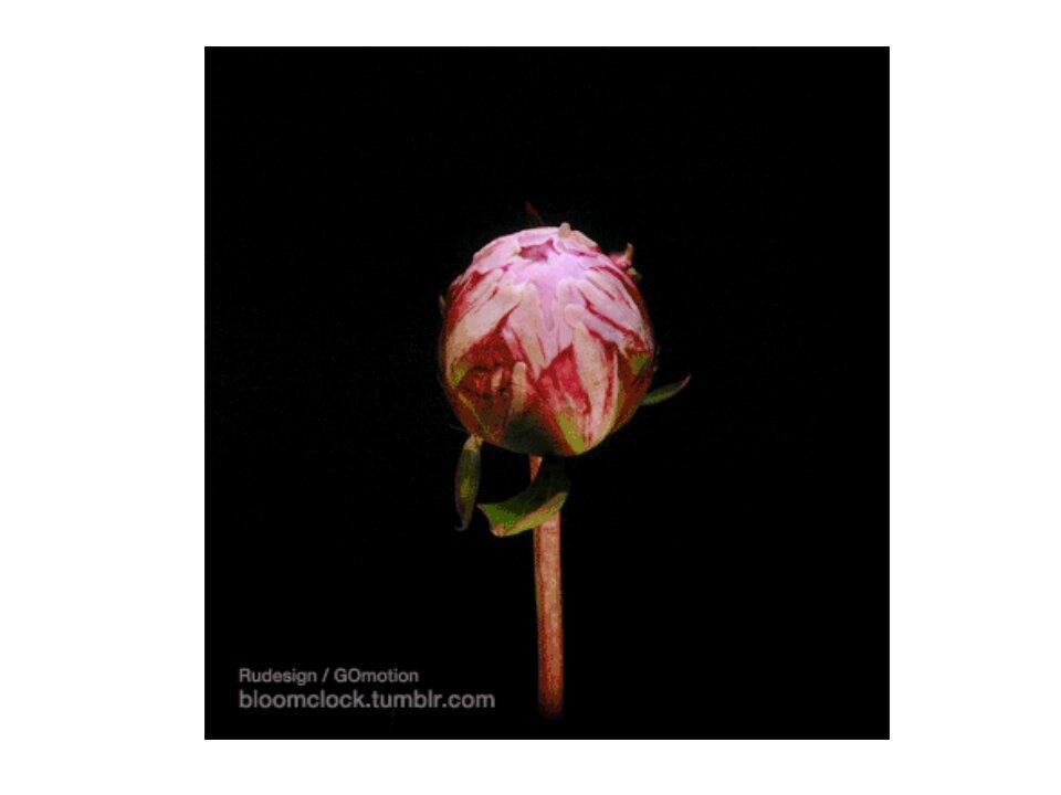 Розовые пионы гифы, февраля