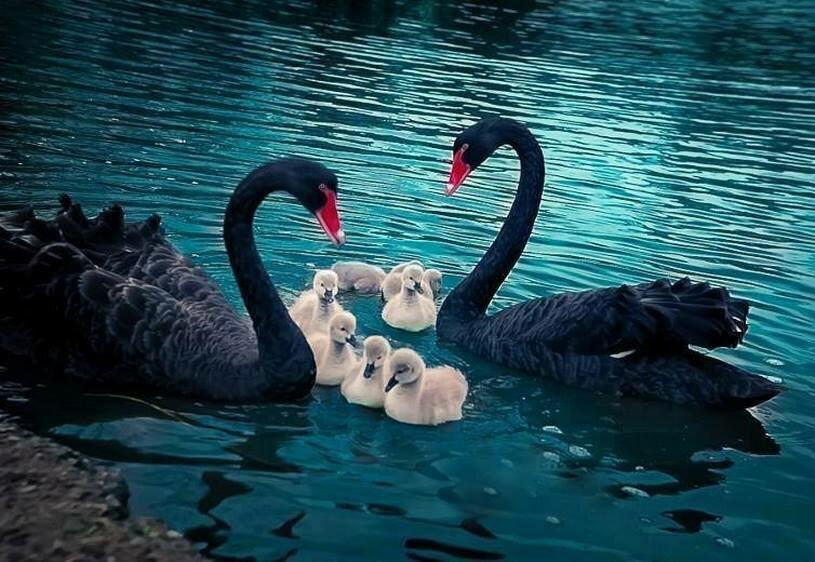 начну черные лебеди фото красивые можно повесить стену