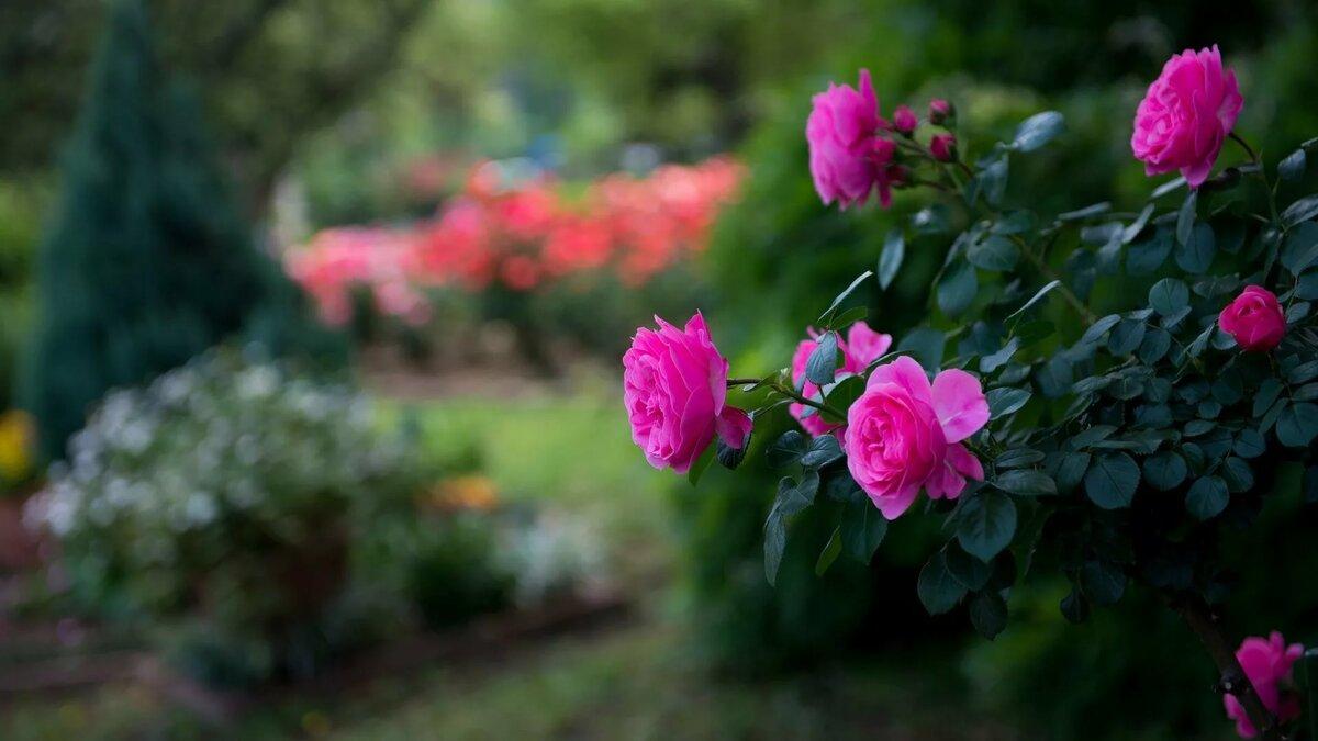 Картинки роз на рабочий стол, картинки