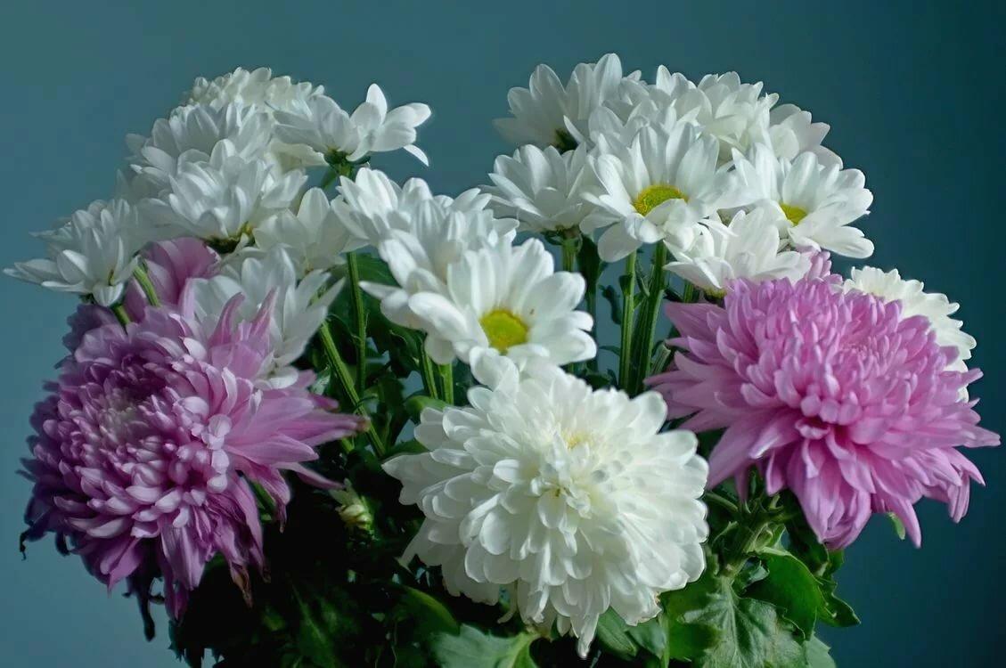 Живые открытки хризантем