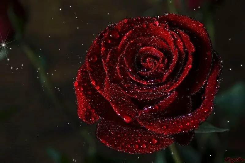 Гифка роза, сделать открытку