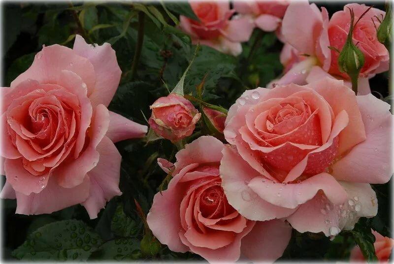 Яндекс открытки с розами