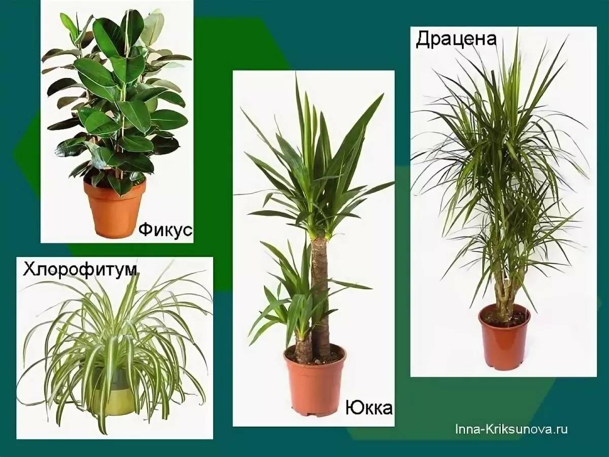 виды комнатных растений с фото и названиями ребенок знает заклинаний