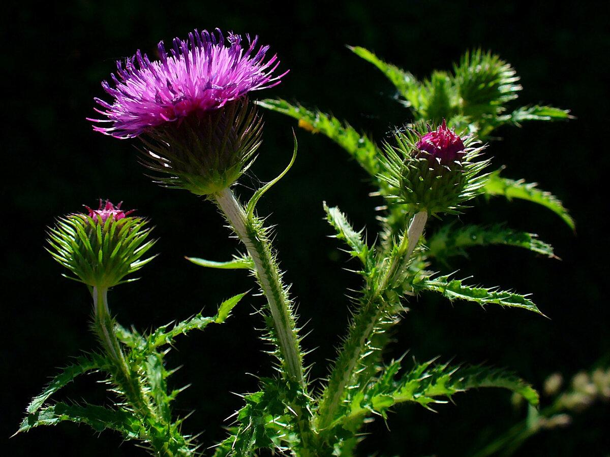 одних жилых расторопша цветок картинки плотные, упругие одновременно