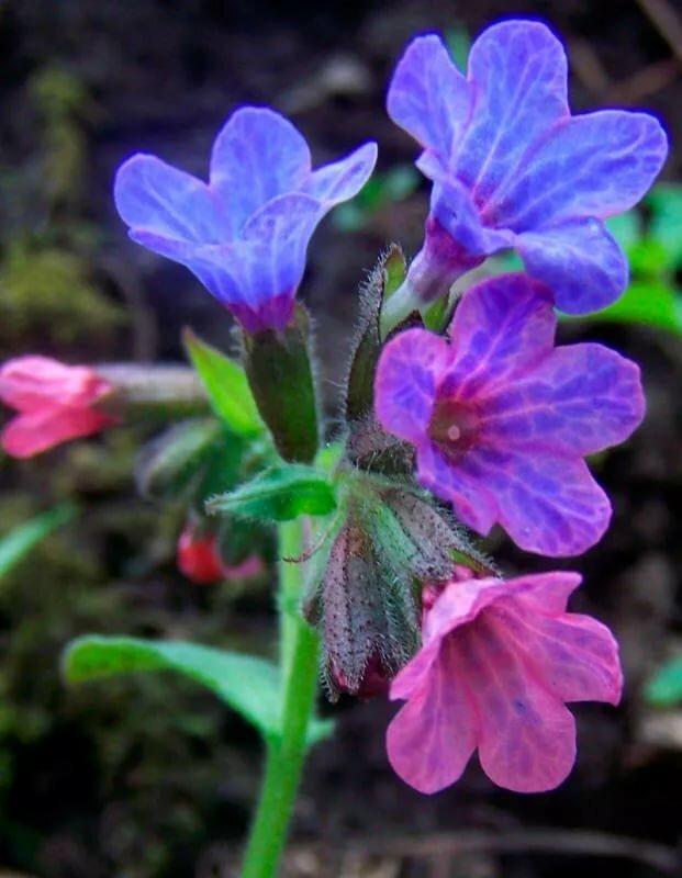 Картинки медуница цветок