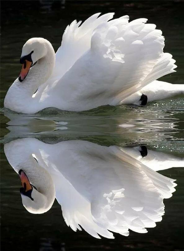 Живые картинки с лебедями