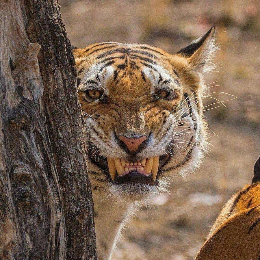 Картинки тигров прикольных