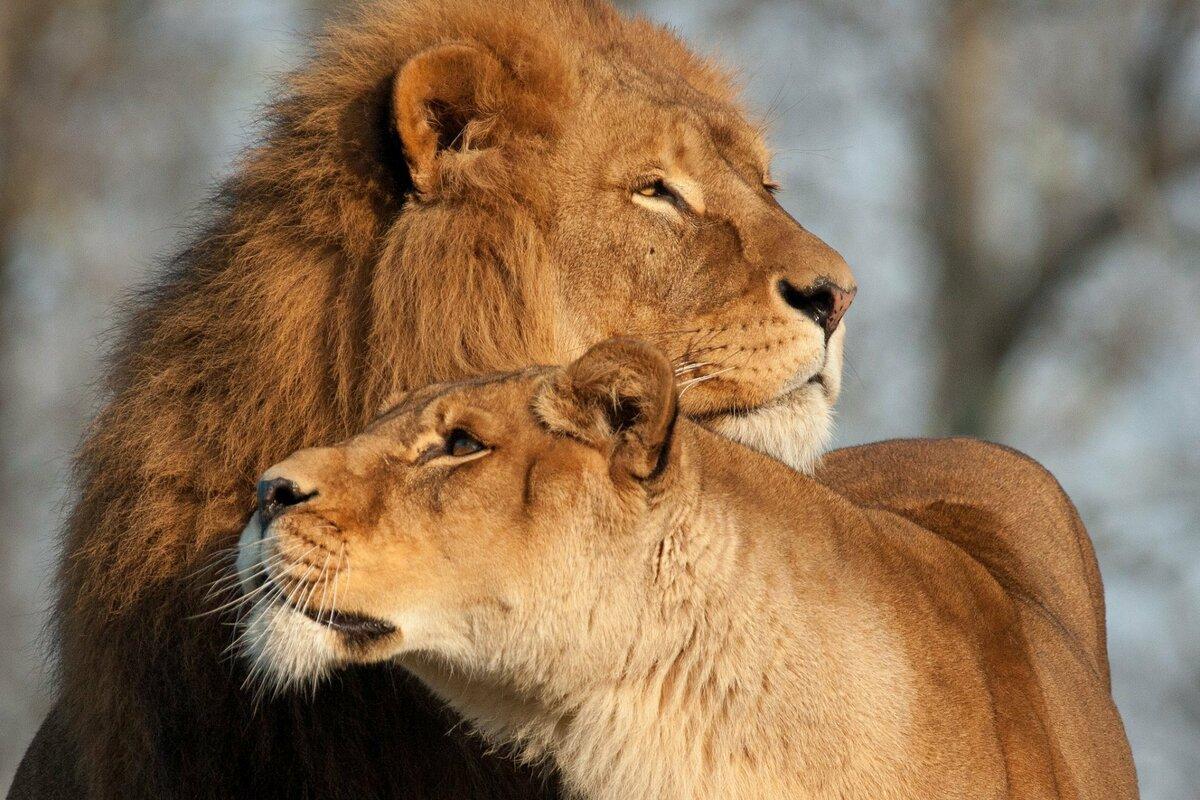 Девушки лет, картинки лев с львицей про любовь