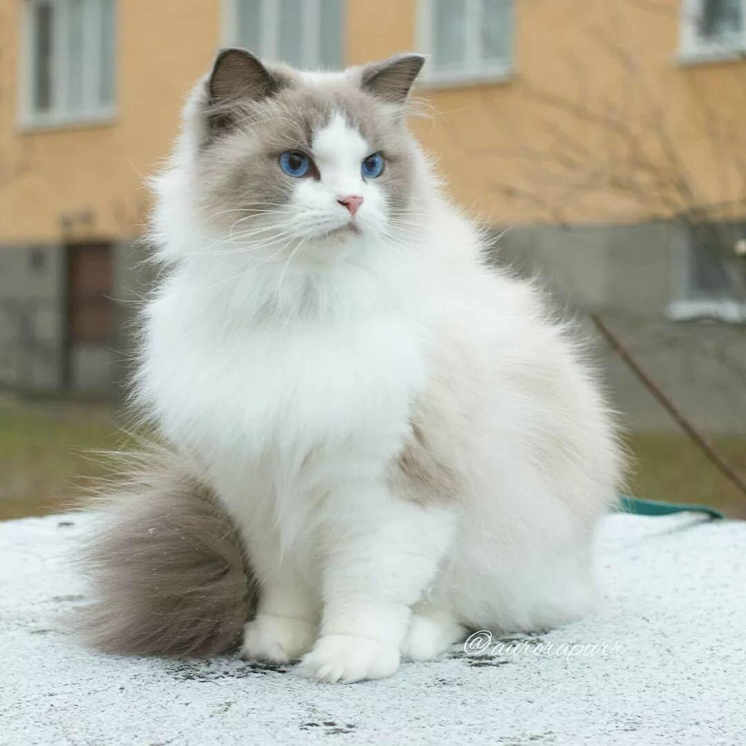 это картинки кошек породистых пушистых парадной форме