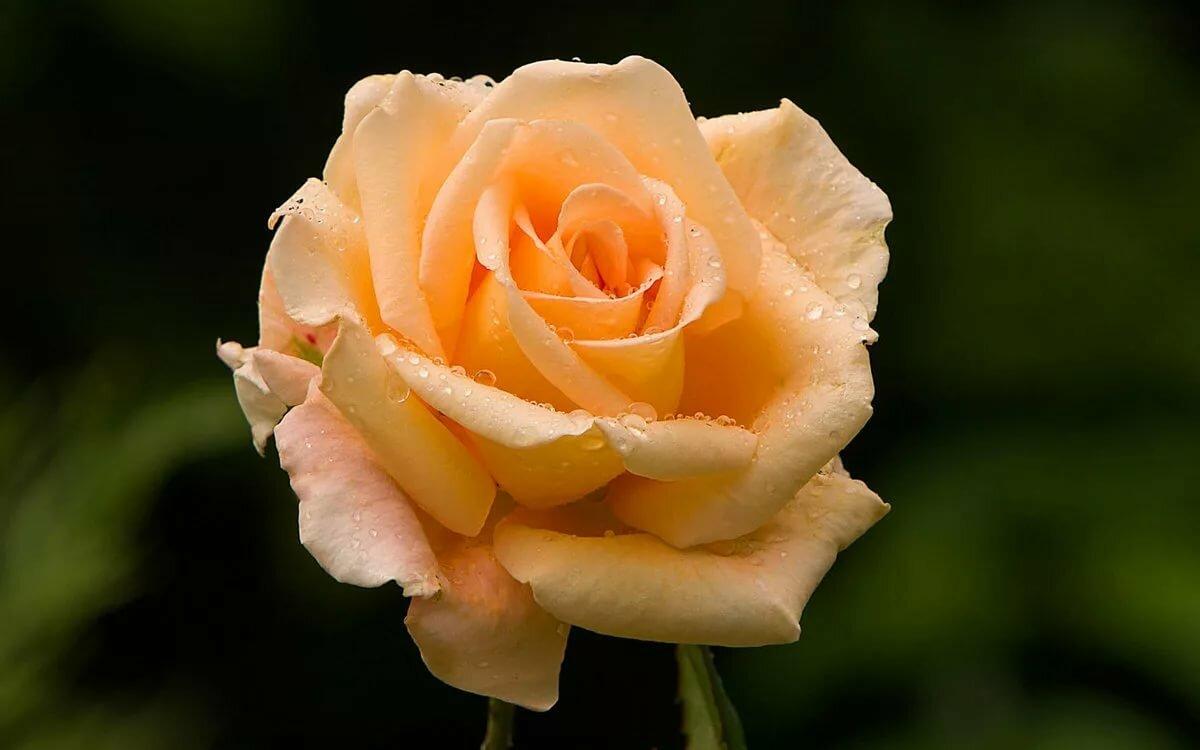 Картинки, открытка роза