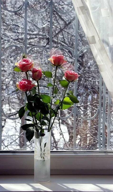 одним картинка роза на подоконнике рамках ухода