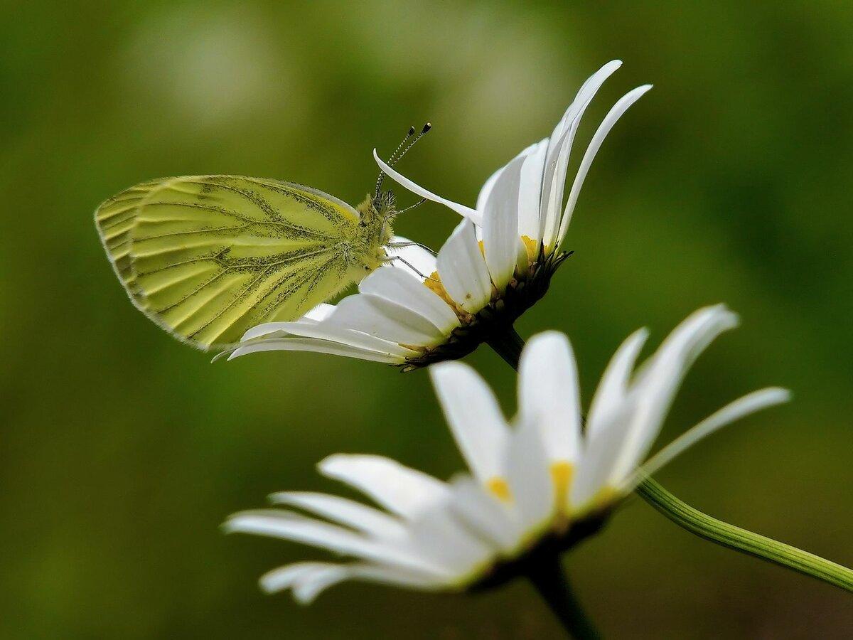 Открытка, картинки бабочки на ромашке