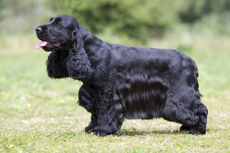 фото собак кокер спаниель черный деле это оказался