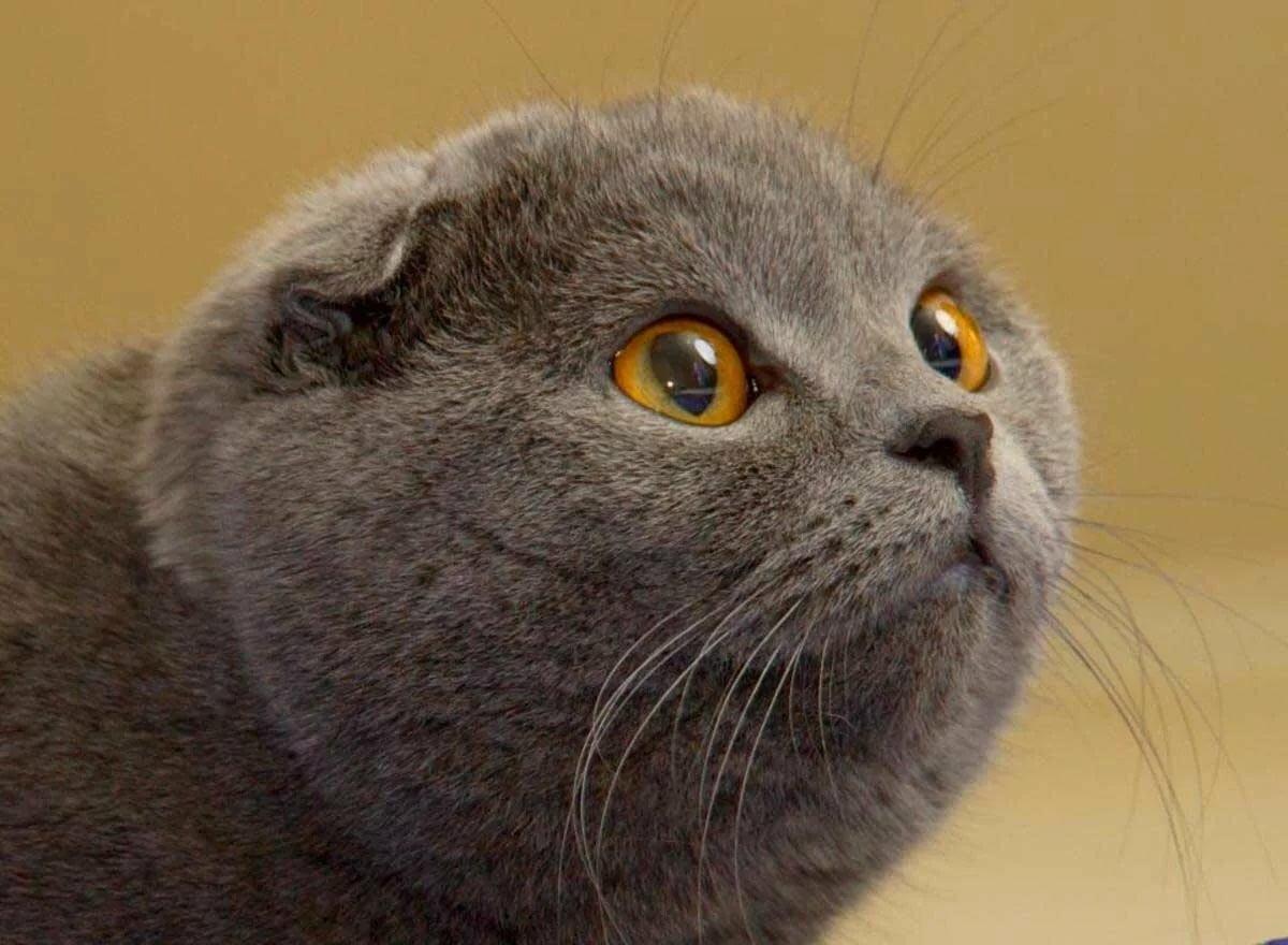 есть вислоухий шотландский кот фотографии сейчас город