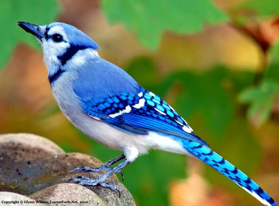 Картинка маленькой синей птички
