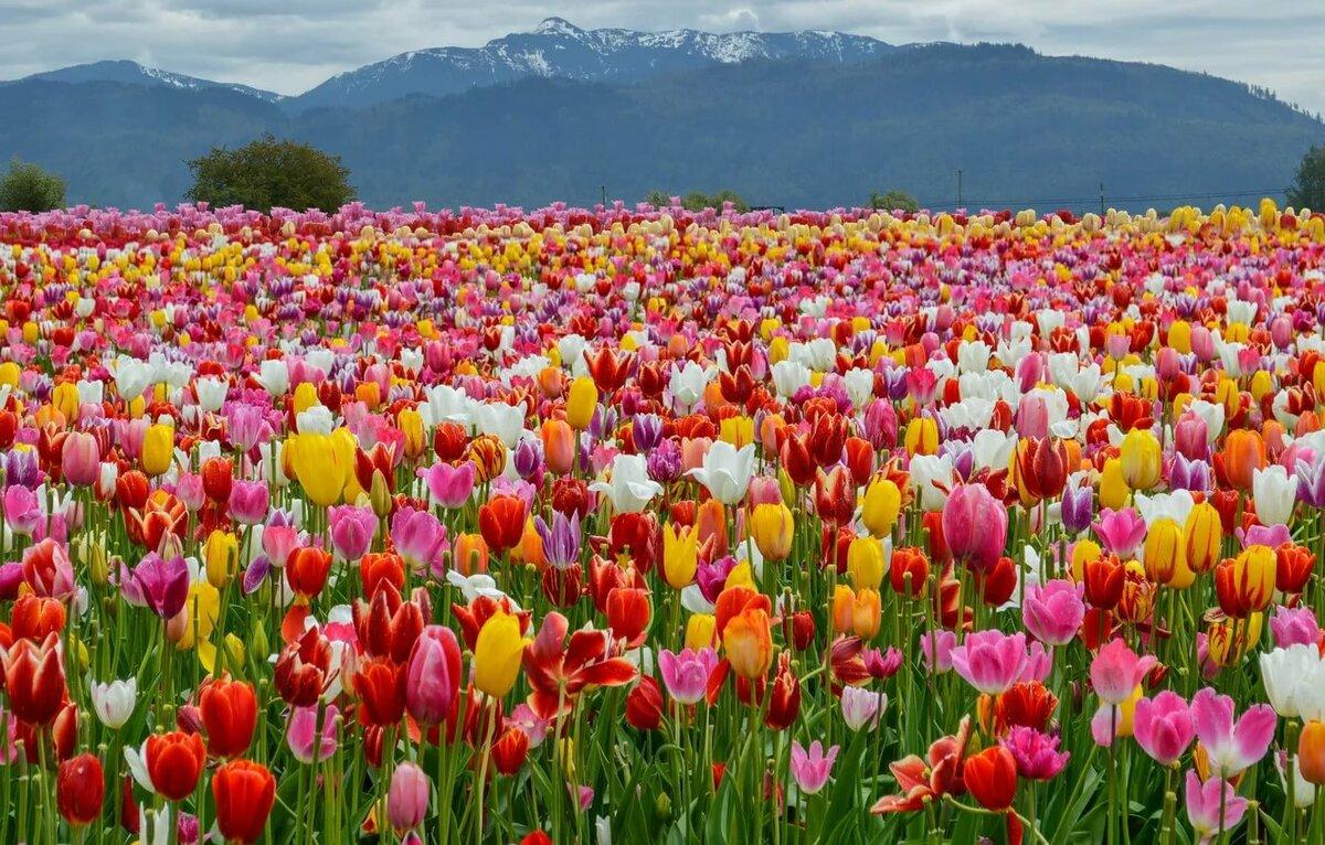 Открытка поля тюльпанов