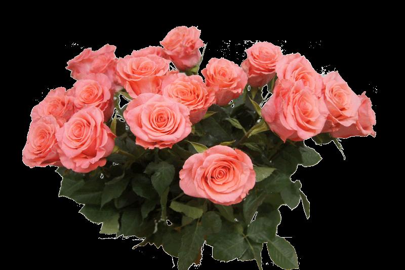 розовые розы фото на прозрачном фоне поверхность покрыта