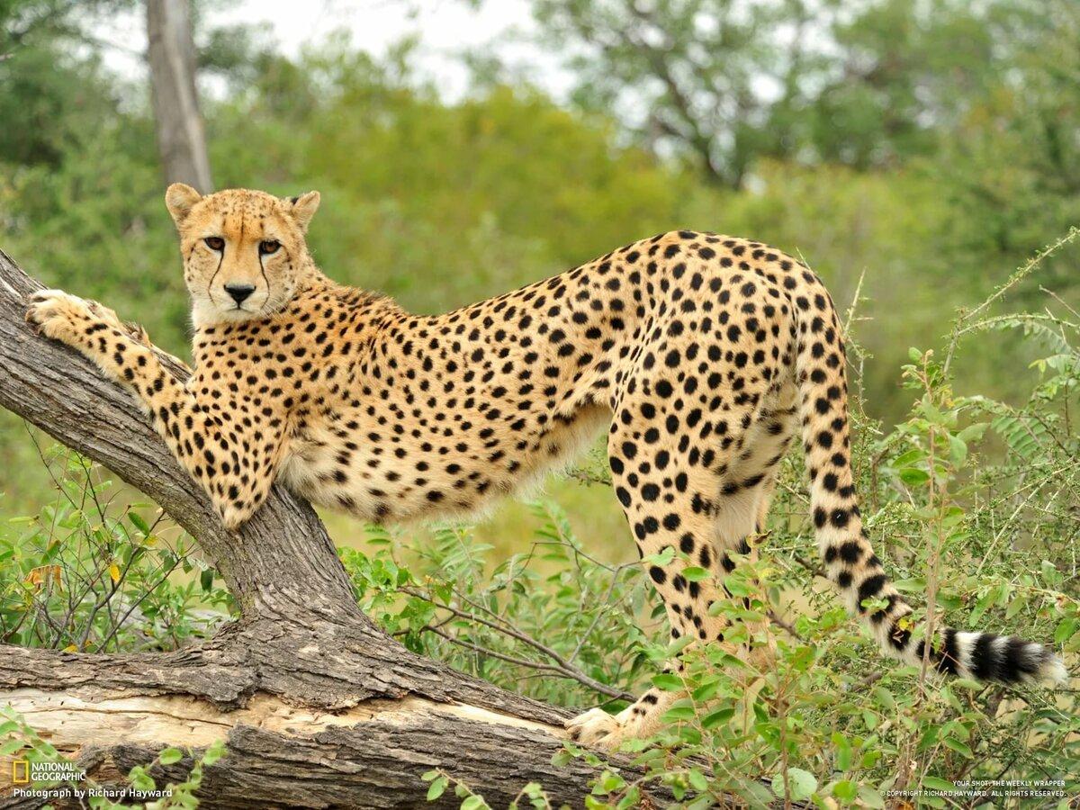 Картинки гепарда животного