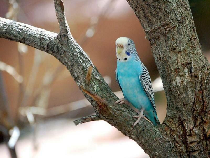 Синие волнистые попугаи фото